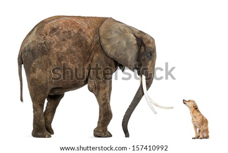 African elephant and Chihuahua looking at each other, isolated on white - stock photo