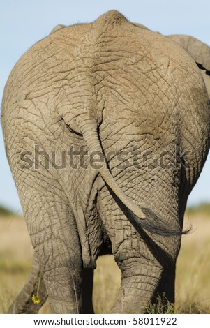 African Elephant behind - stock photo
