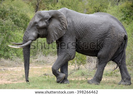 African elephant bull exiting from a mud bath - stock photo