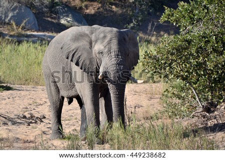 African elephant bull feeding in a dry riverbed  - stock photo