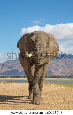 African Elephant bull (Loxodonta africana) walking towards the camera, the Zambezi river in the background - stock photo