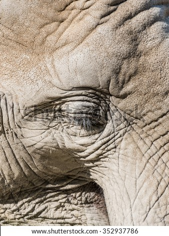 African Elephant Close Up In South Africa