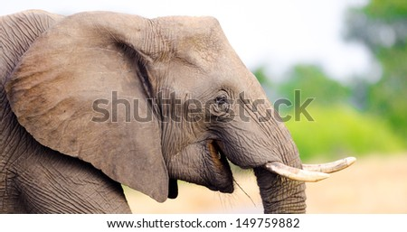 African Elephant Cow. Kruger National Park, South Africa  - stock photo
