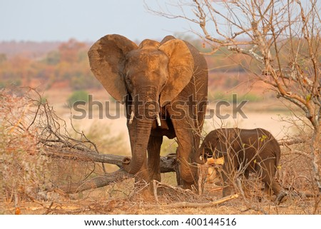 African elephant cow (Loxodonta africana) with small calf, Kruger National Park, South Africa