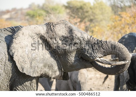 African Elephant Drinks at a Water Hole