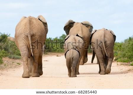 African Elephant family - stock photo