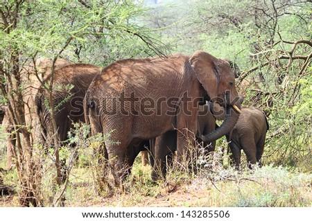 African elephant family in the wild,Tanzania - stock photo
