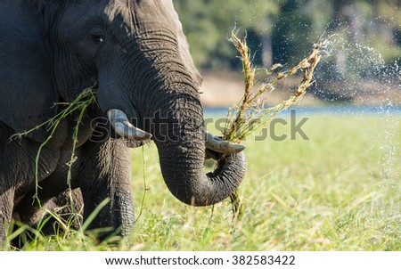 African elephant feeding in Chobe River in Botswana - stock photo
