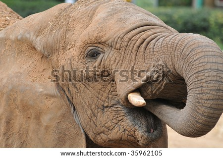 African Elephant Female Eating