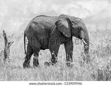 African elephant female on the Masai Mara National Reserve, Kenya, East Africa (black and white) - stock photo