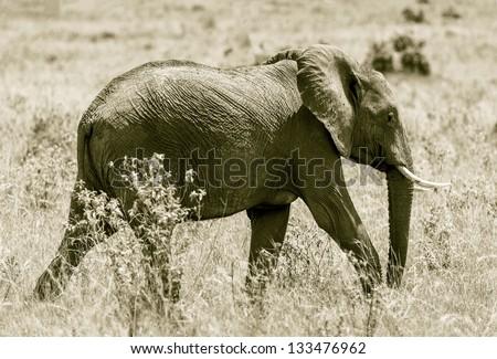 African elephant female on the Masai Mara National Reserve, Kenya, East Africa (stylized retro) - stock photo