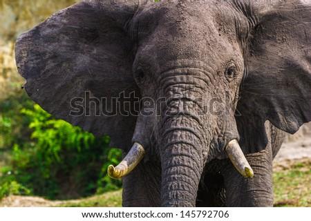 African elephant head - stock photo