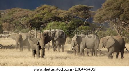 African elephant herd - stock photo
