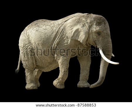 african elephant in black back