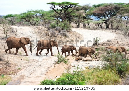 African elephant in the wild , Africa - stock photo