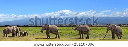 African elephant in the wild in the savanna habitat - stock photo