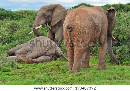 African Elephant injured