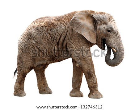 African elephant isolated on white - stock photo
