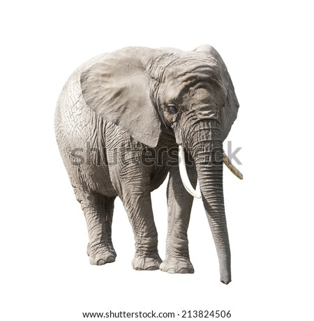 African elephant isolated on white with clipping path - stock photo
