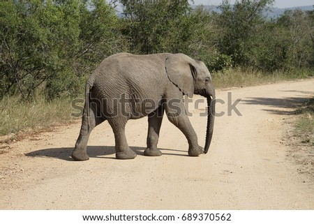 African Elephant Kruger National Park