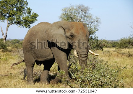 African elephant Kruger National Park, South Africa - stock photo