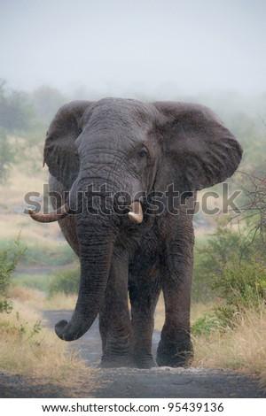African elephant, Loxodonta africana - stock photo