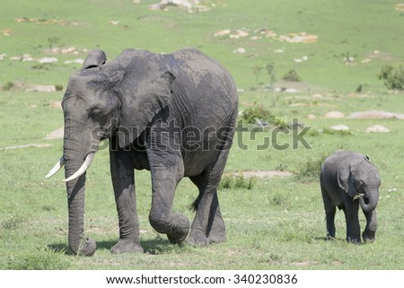 African Elephant (Loxodonta africana) adult with young baby, standing on savanna, Serengeti national park, Tanzania. - stock photo