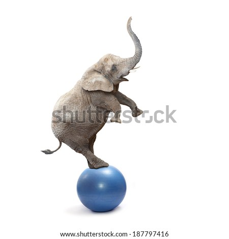 African elephant (Loxodonta africana) balancing on a blue ball.  - stock photo