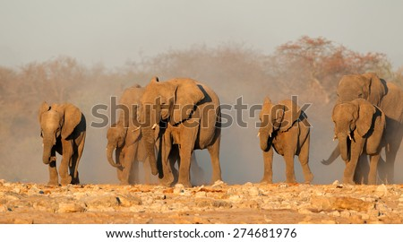 African elephant (Loxodonta africana) herd in dust, Etosha National Park, Namibia - stock photo