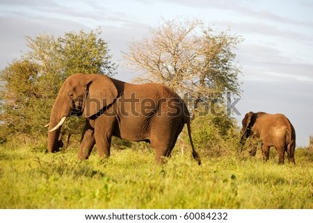 African elephant (Loxodonta africana) in the, Kruger National Park, South Africa. - stock photo