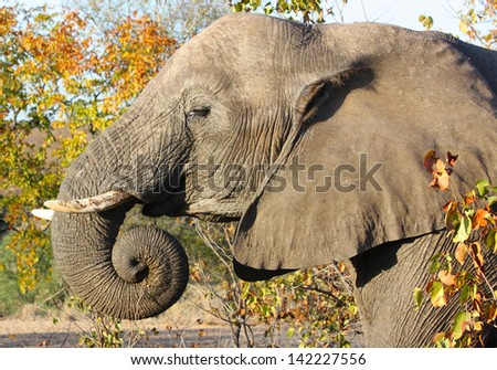 African elephant (Loxodonta Africana) in the Kruger National Park, South Africa. The African elephant is the largest living terrestrial animal. - stock photo