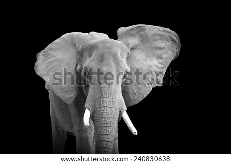 African elephant (Loxodonta africana) isolated on a black background