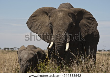 African Elephant, Loxodonta africana, Lower Mara, Masai Mara GR, Kenya - stock photo