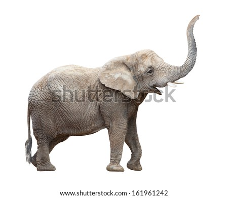 African elephant (Loxodonta africana) on a white background. - stock photo