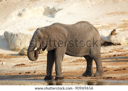 African elephant (Loxodonta Africana) on the banks of the Chobe River in Botswana drinking water and playing in the mud