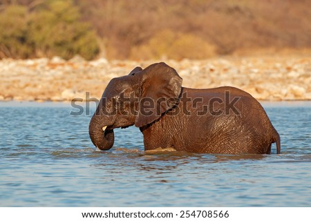 African elephant (Loxodonta africana) playing in water, Etosha National Park, Namibia - stock photo