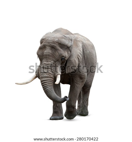 African elephant male isolated on white - stock photo