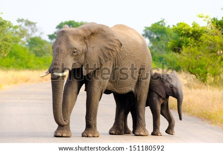 African Elephant Mother & Calf, Kruger National Park, South Africa   - stock photo