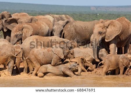 African Elephant Mudbath, South Africa - stock photo