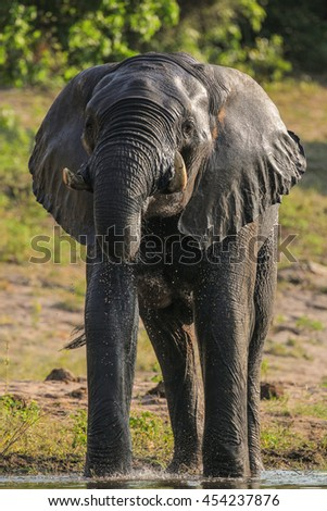 African elephant playing in water, Botswana - stock photo