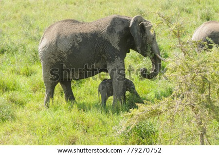 "African Elephant  potecting her young (scientific name: Loxodonta africana, or ""Tembo"" in Swaheli) in the Serengeti National park, Tanzania"