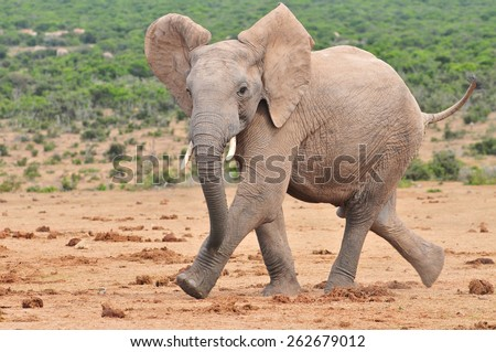 African Elephant running - stock photo
