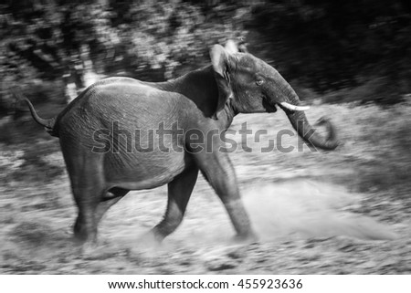 African elephant running next to river with motion blur, Africa