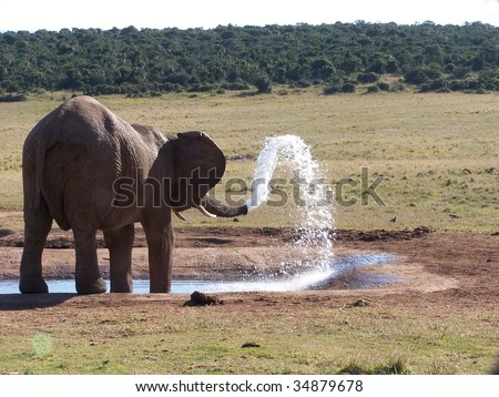 African Elephant spouting