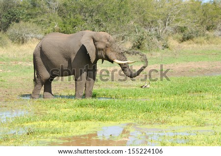 African Elephant Spraying Water. Kruger National Park, South Africa   - stock photo