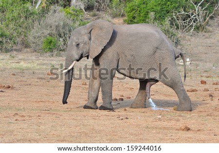 African Elephant urinating
