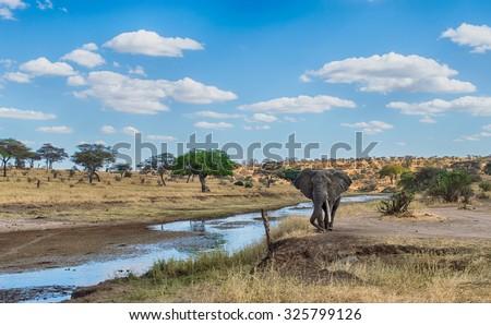 African Elephant walking at Serengeti National Park, Tanzania - stock photo