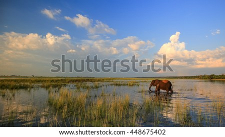African elephant walking in river at sunset, South Africa