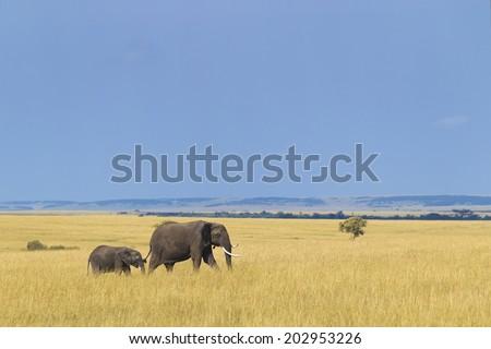 African elephant with calf, Masai Mara National Reserve, Kenya - stock photo