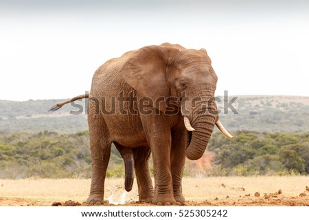 African Elephant with his tail in the air while nature takes over.